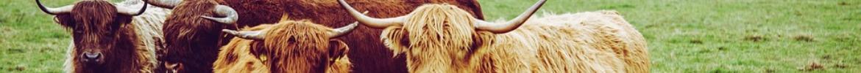 Boeuf highland cattle