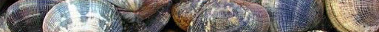 Palourdes en direct de nos mareyeurs