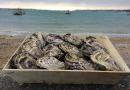 Huîtres de Saint-Riom N°3 - bourriche de 50 pièces