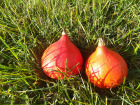 Cocotte et Potiron - Lot De 2 Potimarrons Bio 1,2kg