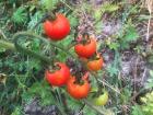Valentin Grain - Fruits et légumes Conversion Bio - Tomate Cerise - 500g