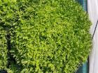 Les Jardins de Champlecy - Laitue Frisée