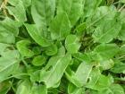 Le Jardin des Gallines - Oseille Verte Bio