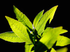 Les Herbes du Roussillon - Verveine Fraîche