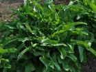 Le Jardin des Gallines - Salade Cressonette Marocaine Bio