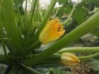 La Boite à Herbes - Fleur De Courgette Bio Lots De 4