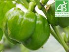 Mon Petit Producteur - Poivron vert bio