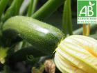 Mon Petit Producteur - Courgette Verte Bio [vendu Par 3 Kg]