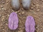 La Ferme du Bois Ramard - Pommes De Terre Violetta En Conversion Bio 500 G