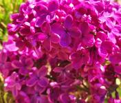 Les Jardins du Mas de Greil - Lilas Mauve Fleurs Fraîches