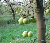La Boite à Herbes - Pomme Granny Smith - 1kg