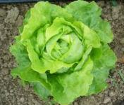 Le Jardin des Gallines - Salade Laitue Verte Bio