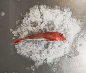 Les Viviers de Porsguen - Grondins Rouge 200/400g - 1 kg
