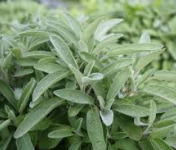 Le Jardin des Gallines - Bouquet Frais De Sauge Bio