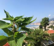 Le Jardin des Antipodes - Sauge Ananas Fraîche Bio