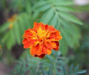 Les Jardins du Mas de Greil - Tagete, Bouquet  De Fleurs Fraîches Avec Tiges