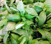 Le Châtaignier - Basilic frais - 1 Pièce