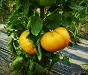 La Boite à Herbes - Tomate Ananas Biologique - 1kg