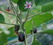 La Boite à Herbes - Mini Aubergines - Lot De 2