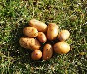 La Ferme Boréale - Pommes De Terre Belle De Fontenay Calibre Grenaille - 10kg
