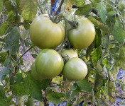 Multiproductions - Cédric Joliveau - Tomates Vertes 5 kg (pour confiture)