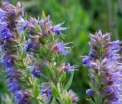 Les Jardins du Mas de Greil - Hysope, Bouquet Frais