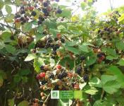 Les Jardins de Karine - Mûres surgelées - 1kg