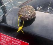 KI DOUR MOR - Ormeaux sauvages pêchés en plongée (4 pièces) vivants