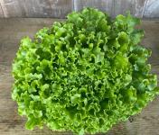 La Ferme du Polder Saint-Michel - salade batavia Bio