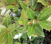Le Jardin des Gallines - Laurier Frais En Branche