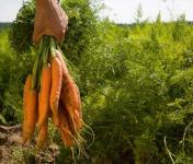 Au bon Jardinet - Botte De Carottes  1kg
