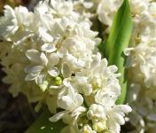 Les Jardins du Mas de Greil - Lilas Blanc Fleurs Fraîches