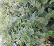 Le Jardin des Gallines - Menthe Nanah Bio Fraiche En Bouquet