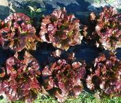 La Boite à Herbes - Feuille De Chène Rouge Bio