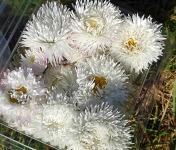 Les Jardins du Mas de Greil - Pâquerette Double Blanche Fleurs Fraîches