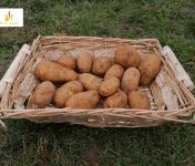 Au bon Jardinet - Pomme De Terre Binjte nouvelles