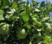 Le Jardin des Antipodes - Combava Bio Lot De 3 Fruits