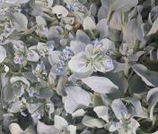 Maison Argentain - Mertansia Maritima (Plante à huître) - 70g