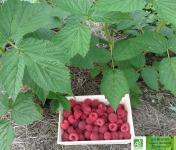 Les Jardins de Karine - Framboise surgelée -10kg