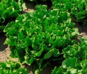 Au bon Jardinet - Salade Batavia