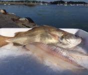 Pêcheries Les Brisants - Ulysse Marée - Filet De Tacaud - Pelé Sans Ventre - 400g