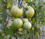 Multiproductions - Cédric Joliveau - Tomates Vertes 1 kg (pour confiture)