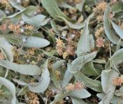 Les Jardins du Mas de Greil - Tilleul, Fleurs-bractées Séchées