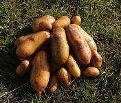 La Ferme Boréale - Pommes De Terre Belle De Fontenay Calibre 28-35 - 5kg