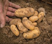 Maison Argentain - Pomme De Terre Nouvelle - 1kg
