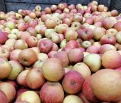 Le Châtaignier - Pommes Dalinsweet - 1kg