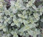 Le Jardin des Gallines - Origan Grec Bio Frais En Bouquet