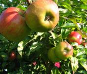 Au bon Jardinet - Pommes Elstar X 1 Kg