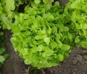 Le Jardin des Gallines - Salade Feuile De Chêne Verte Bio