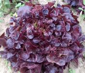 Multiproductions - Cédric Joliveau - Salade Feuille de Chêne Rouge